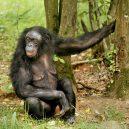 Kam se poděla kost z penisu? Vědci znají odpověď - bonobo