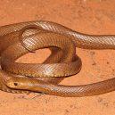 Jak vypadá nejnebezpečnější hadí zabiják světa? - 01-taipan-mensi