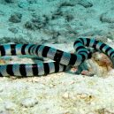 Jak vypadá nejnebezpečnější hadí zabiják světa? - 03-vodni-had-druhu-vodnar