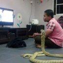Jak vypadá nejnebezpečnější hadí zabiják světa? - 04-kobra-indicka-muze-byt-i-domaci-mazlicek