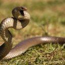 Jak vypadá nejnebezpečnější hadí zabiják světa? - 05-pakobra-vychodni