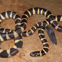 Jak vypadá nejnebezpečnější hadí zabiják světa? - 07-vodni-had-vlnozil-uzovkovy