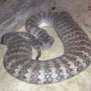 Jak vypadá nejnebezpečnější hadí zabiják světa? - 08-smrtonos-zmiji