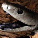 Jak vypadá nejnebezpečnější hadí zabiják světa? - 09-mamba-cerna