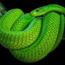 Jak vypadá nejnebezpečnější hadí zabiják světa? - 11-mamba-zelena
