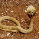 Jak vypadá nejnebezpečnější hadí zabiják světa? - 12-kobra-indicka