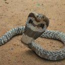 Jak vypadá nejnebezpečnější hadí zabiják světa? - 13-kobra-indicka