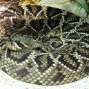 Jak vypadá nejnebezpečnější hadí zabiják světa? - 14-chrestys-diamantovy