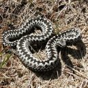 Jak vypadá nejnebezpečnější hadí zabiják světa? - 15-zmije-obecna