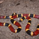 Jak vypadá nejnebezpečnější hadí zabiják světa? - 16-vodni-had-rodu-koralovec