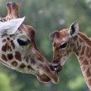 Lov žiraf – krutá zábava vede k jejich vyhynutí - giraffe-endangered