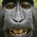 8 opravdu bizardních žalob - Macaca_nigra_self-portrait__rotated_and_cropped_.0