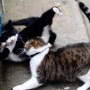Larry – z útulku do sídla britských premiérů - PAY-Palmerston-the-Foreign-office-cat-blackwhite-and-Larry-the-No10-cat-ongoing-fight-this-morning