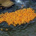Slavná havárie: gumové kachničky zaplavily Tichý oceán - ken-ducky_derby_2009_lot_of_ducks