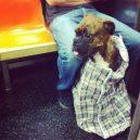 Nové nařízení komplikuje život newyorským pejskařům. Podívejte se, jak vtipně si s problémem poradili - nyc-subway-dog14