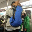 Nové nařízení komplikuje život newyorským pejskařům. Podívejte se, jak vtipně si s problémem poradili - nyc-subway-dog18
