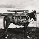 Zvířata a válka. 14 fotografií zachycující obvyklé i neobvyklé způsoby využití zvířat v armádě - rocket-donkey