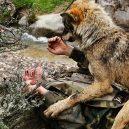 Španěl jako malé dítě utekl do hor za vlky. Žil s nimi až do svých 19 let - foto_05