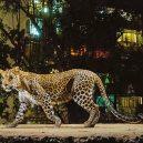 Levharti žijí s lidmi uprostřed jednoho z největších měst světa – Bombaje - leopard2