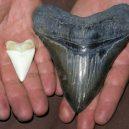 Největší žralok mohl dosahovat délky až 30 metrů! - megalodon-tooth-great-white