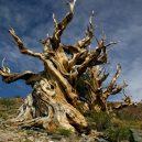 Nejstarší strom světa Metuzalém – která z těchto úchvatných borovic to je, můžeme jen hádat - 7be8ead36d97974535d8fd5b39ef45dd