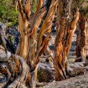 Nejstarší strom světa Metuzalém – která z těchto úchvatných borovic to je, můžeme jen hádat - 9556879134_a78e7edffb_b