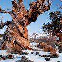 Nejstarší strom světa Metuzalém – která z těchto úchvatných borovic to je, můžeme jen hádat - Bristlecone-Pine-Forest-Snowy.jpg.638x0_q80_crop-smart