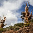 Nejstarší strom světa Metuzalém – která z těchto úchvatných borovic to je, můžeme jen hádat - bristleconepine-forest.jpg.1000x0_q80_crop-smart