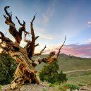 Nejstarší strom světa Metuzalém – která z těchto úchvatných borovic to je, můžeme jen hádat - d56050ef-3cf5-49b0-baff-f178b8cb70f3