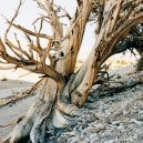Nejstarší strom světa Metuzalém – která z těchto úchvatných borovic to je, můžeme jen hádat - lookNY4647CA
