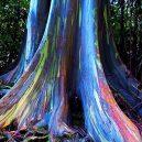 Blahovičník duhový – nejbarevnější strom na světě - 71V3qUQhFaL._SY550_