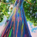 Blahovičník duhový – nejbarevnější strom na světě - 74933845_3168450509842605_572917769356443648_o