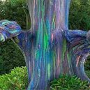 Blahovičník duhový – nejbarevnější strom na světě - eucalyptus_treewai