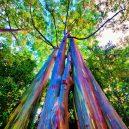 Blahovičník duhový – nejbarevnější strom na světě - f8c9e341ddfbb73cb2e05a99be7948e3