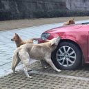 Psi se surovému řidiči pomstili - ga1