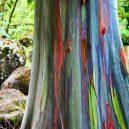 Blahovičník duhový – nejbarevnější strom na světě - Rainbow-Eucalyptus-in-Waimea-Valley-North-Shore-Oahu-4