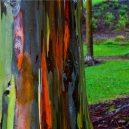 Blahovičník duhový – nejbarevnější strom na světě - Rainbow-Eucalyptus-Main