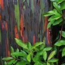 Blahovičník duhový – nejbarevnější strom na světě - Rainbow_Eucalyptus_Maui