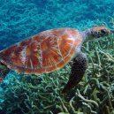 Palmyra – ukrývá krásný atol pirátský poklad? - Green_turtle_Palmyra_Atoll_National_Wildlife_Refuge