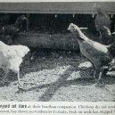 """Zázračné """"zombie kuře"""" žilo 18 měsíců bez hlavy - Mike-the-Headless-Chicken-in-1945-Steve-and-Denise-Hight"""