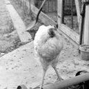 """Zázračné """"zombie kuře"""" žilo 18 měsíců bez hlavy - miraclemike"""