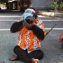 Nevinná zábava, nebo týrání zvířat? Na thajskou zoo se po zveřejnění videa s šimpanze v roušce snesla vlna nenávisti - 27212860-8220743-image-m-5_1586944586309
