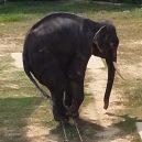Nevinná zábava, nebo týrání zvířat? Na thajskou zoo se po zveřejnění videa s šimpanze v roušce snesla vlna nenávisti - 27217552-8220743-Harrowing_footage_shows_the_severely_underweight_female_elephant-a-23_1586946538414