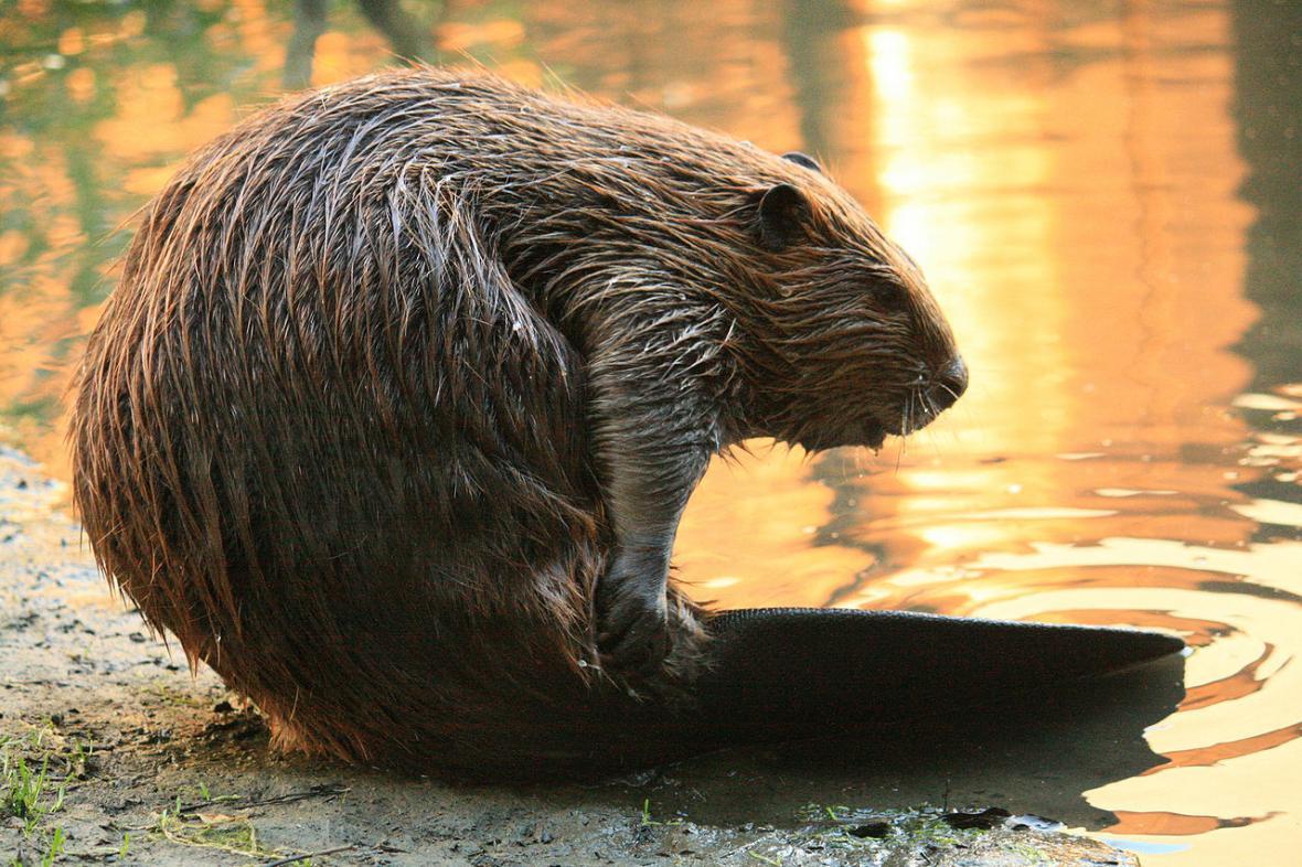 Castor fiber – bobr evropský je nadšený a výkonný vodohospodář, který přirozeně pomáhá k dnes tak potřebnému zadržování vláhy v krajině