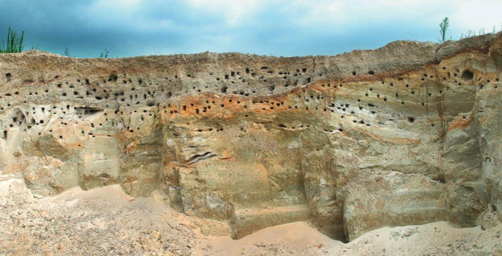 Hnízda břehule říční ve strmých stěnách pískovny