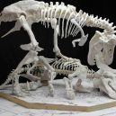 Tyranosaurus nepřežil zápas s rohatým triceratopsem. Scéna zamrzla v čase, fosilii našli ve smrtelném objetí - trexvshatcher8web