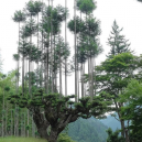 Magický lesní výjev – japonská lesnická technika daisugi - 39057uuz9yf51