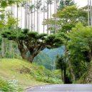 Magický lesní výjev – japonská lesnická technika daisugi - arbol-japones-06