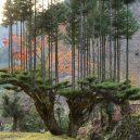 Magický lesní výjev – japonská lesnická technika daisugi - daisugi-1