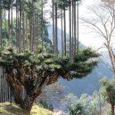 Magický lesní výjev – japonská lesnická technika daisugi - vou4p64pmvu51